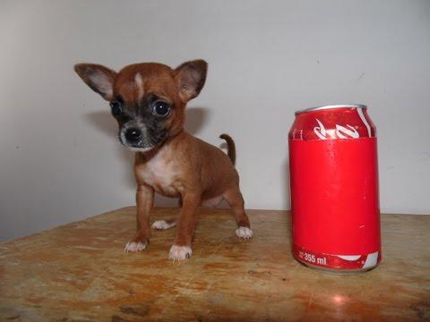 Adorable Chihuahua de Bolsillo Hembra