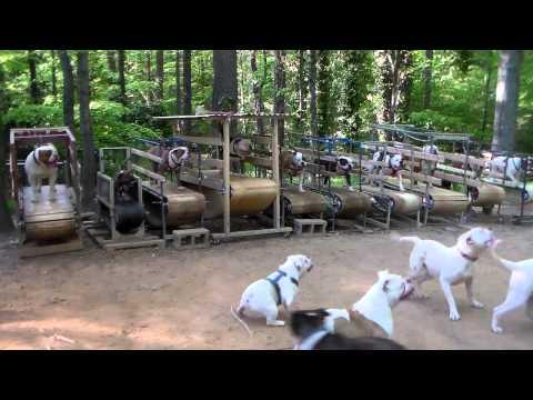 Koiratarhalla on Bulldoggeilla treenit käynnissä – Juoksumatot saa kyytiä