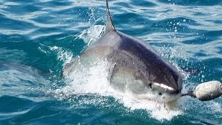 Gansbaai South Africa  City pictures : Great White Shark Experience in Gansbaai South Africa