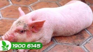 Chăn nuôi lợn | Cách trị bệnh viêm ruột tiêu chảy do E.coli ở lợn con