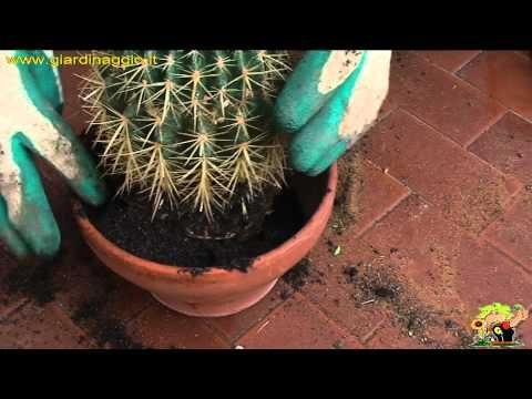 come coltivare l'echinocactus - il cuscino della suocera