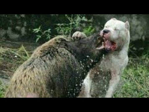 Dogo Argentino Best Moments 2019