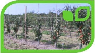 Die verschiedenen Wuchsgruppen bei den Malini Apfelsäulenbäume