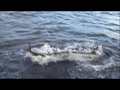 barracuda attacks amberjack while on a fishing charter!