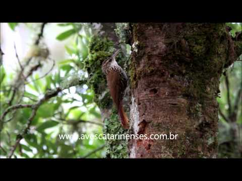 Arapaçu-escamado-do-sul - Cristiano Voitina