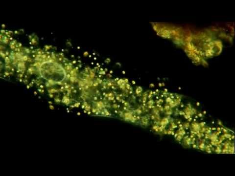 Amoeba In Motion. Extreme Detail. 400X. 1080p!