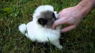 Cuteness overload featuring our teeny tiny pomeranian puppy Mickey. - YouTube