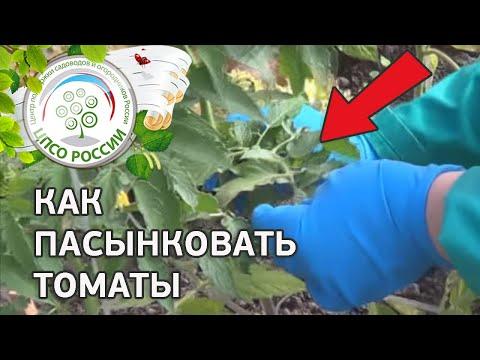 Как пасынковать томаты. Формирование томатов в теплице.