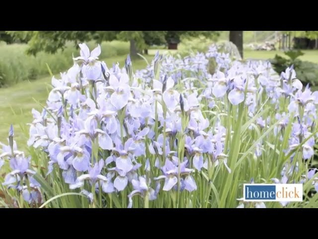 Growing Bearded Iris