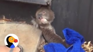 Koala Trapped In Fence Saved by Kind Strangers | The Dodo