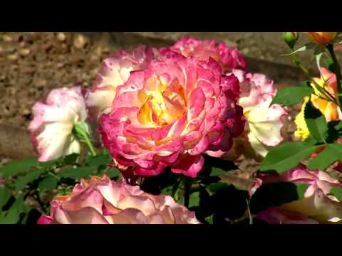 Rose Garden: International Rose Trials