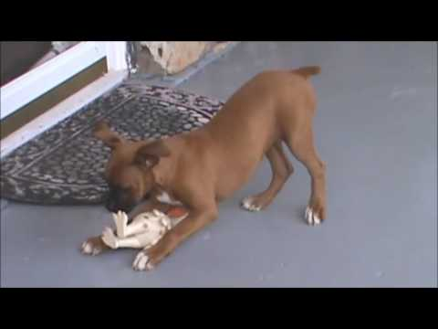 A video of Sheba Playing