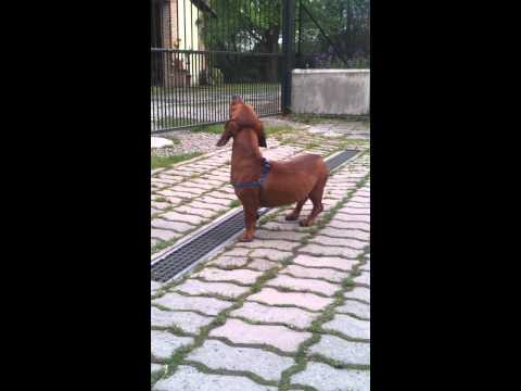 the dachshund's howling