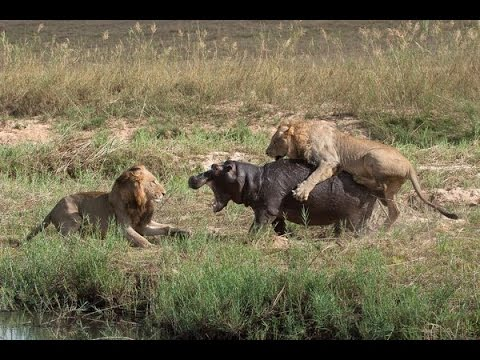 Video Lion Attack, A Fierce Funds Is Illegal download in MP3, 3GP, MP4, WEBM, AVI, FLV January 2017