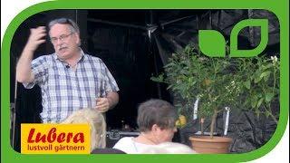 Geschichte der Citrus - Überwinterung von winterharten Zitruspflanzen wie Citrus Yuzu (Juno)