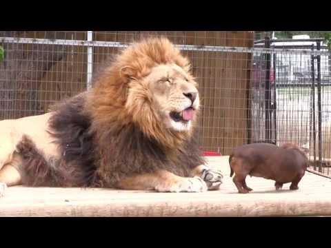 當獅子遇上臘腸狗…
