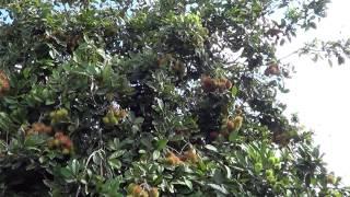 hmong-guyane-zos-javouhey-cov-txiv-lwm-tsib-27122012