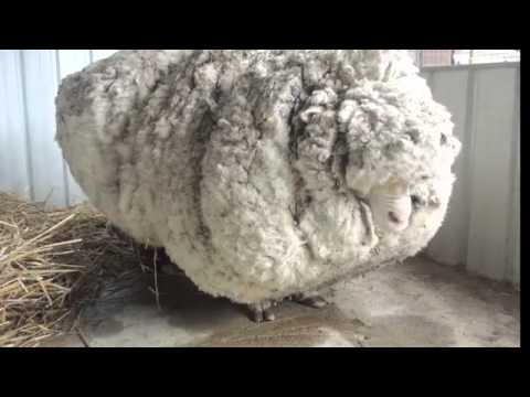 Austrian merino sheep with huge fleece gets a haircut