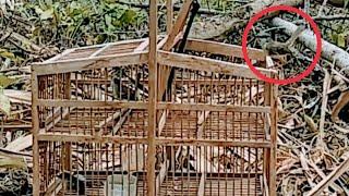 Download Video Pikat burung ciblek di kebun, langsung dapat MP3 3GP MP4