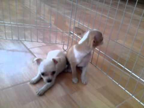 video chihuahua miniature girls dogcenter