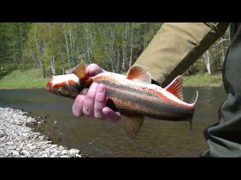 Рыбалка на горной реке... (видео)