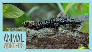 Setting Up A Bioactive Enclosure | Red Eyed Croc Skink by Animal Wonders