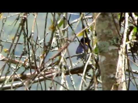 Endemic, Velvet-fronted Euphonia, Euphonia concinna,Birding tour Magdalena Valley