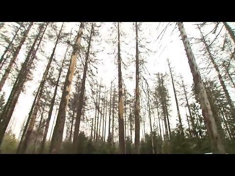 Fichtensterben imHarz: »Der Wald ruft« – um Hilfe