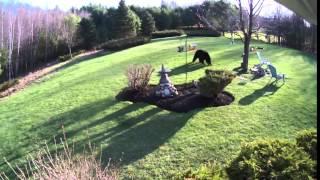 Two Brave Dogs Fight Off Backyard Bear