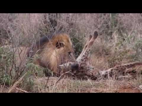 Lion attacks a Hyena - Part 1 of 3