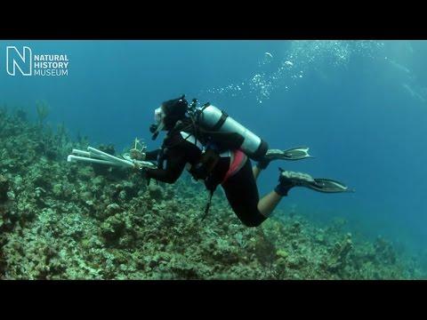 Caribbean coral crusaders