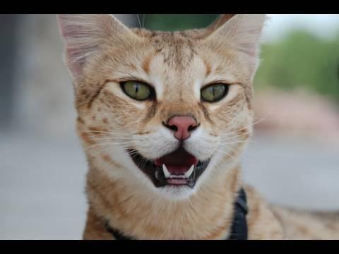 il meraviglioso gatto della savana.