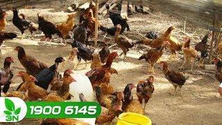 Chăn nuôi gà | Gà bị bệnh Newcastle: Chữa sai cách, thiệt hại nghiêm trọng
