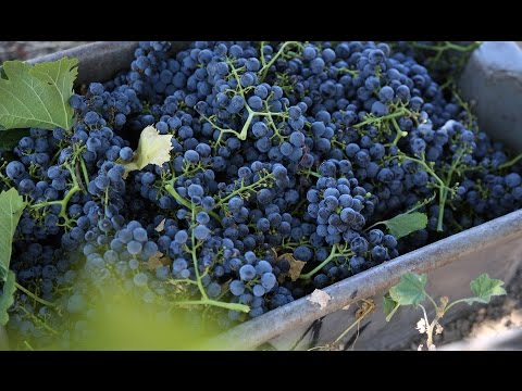Jordan Winery 2015 Vintage Harvest Report Sonoma County