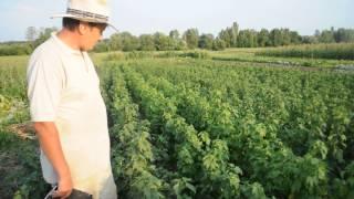 Саженцы черной смородины 2013