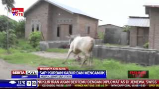 Video Sapi Kurban Mengamuk MP3, 3GP, MP4, WEBM, AVI, FLV Agustus 2019
