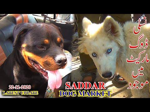 Saddar Dogs Market 22-11-20 Rottweiler Siberian Husky Pit Bull Terrier Dachshund Dogs Updates Video