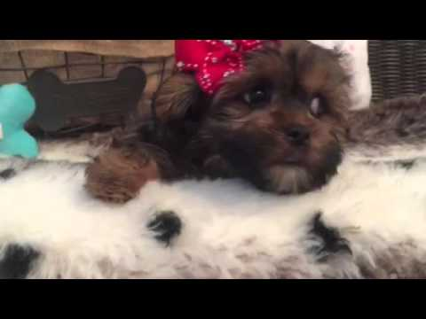Teddy bear, sable shorkie female