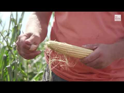 Derecho Brings Disaster To Iowa Farms