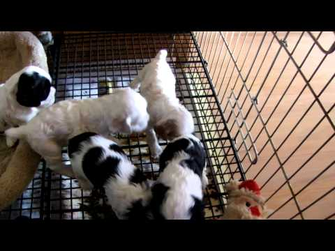 Puppies Playing Videos