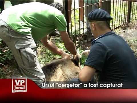 """Ursul""""cerşetor"""" a fost capturat"""