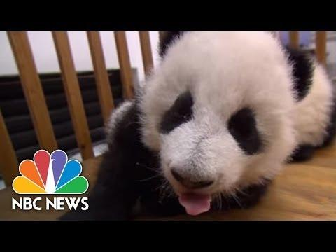 Tiernos bebés pandas aprendiendo a caminar