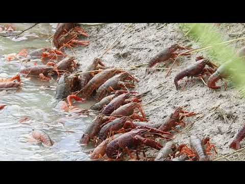 Red Swamp Crayfish AKA Crawfish exiting crawfish pond being drained - Thời lượng: 1:48.