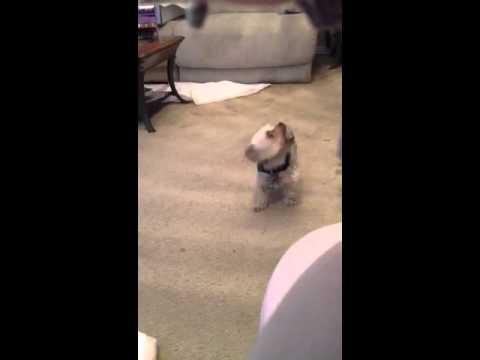 Baby Budda my medical alert dog