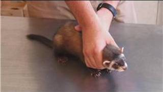 Pet Ferrets : Ferret Care