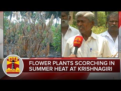 Flower-Plants-Getting-Scorched-in-Summer-Heat-at-Krishnagiri-Farmers-Express-Sadness