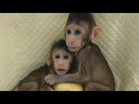 Durchbruch: Forscher in China klonen erstmals Affen