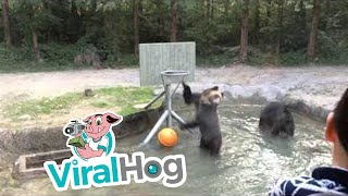 animale ursul joaca baschet