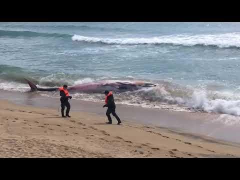 Aparece una ballena de 13 toneladas en la playa de Montgat