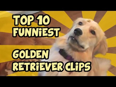 classifica dei 10 golden retriever più simpatici